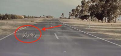 """Tesla Autopilot nhận ra đàn vịt qua đường và tránh vụ """"tai nạn thảm khốc"""""""